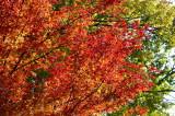 Sunsplashed October Maple