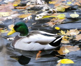 Mallard in Leaves (2 Images)