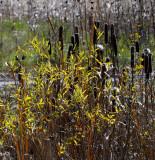 Cattails & Grasses