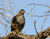 Curious Redtail (2 Images)