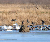 Eagle & Geese