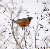 Winter Robins (2 images)