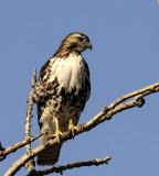 Redtail Hawk Leap (4 images)