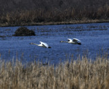 Tundra Swans (2 images)