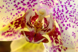 Inside the Mouth of the Orchid