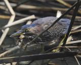 Green Heron Hunting (4 images)