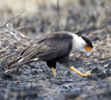 Crested Caracara (3 images)
