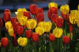 Spring Flowers... Tulips