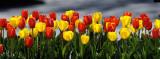 Tulip Panorama (View at Original Size)