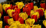 Today's Best Tulips