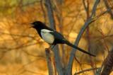 Magpie Talking