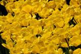 Sea of Yellow Tulips