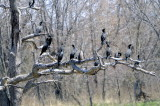 Gathering of the Double Crested Cormorants