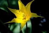 Pella Tulip
