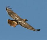 Redtail Hawk (3)