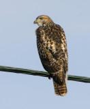 Friendly Redtail Hawk