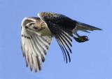 Redtail Hawk (2)
