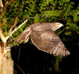 Redtail flying in the Forest