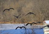 Canadian Geese Departure