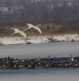Trumpeter Swans Landing