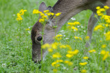 Young Deer with Spring Flowers