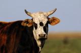 Texas Bovine