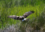 Harrier Capturing Field Mouse - Scroll Down to See it All - Incredible