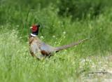Mr Pheasant