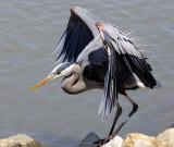 Local Blue Heron