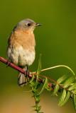 merles_bleus__eastern_bluebirds