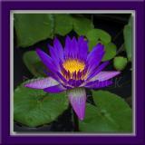 Lush Purple