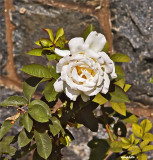 Rose by the Garden Wall