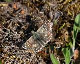 Backvisslare, (Pyrgus armoricanus)