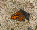 Wall Brown, male, Svingelgräsfjäril