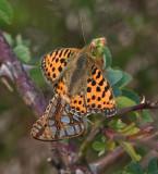 Storfläckig Pärlemorfjäril, (Issoria lathonia)