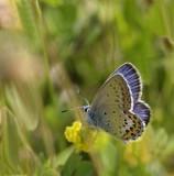Hedblåvinge, (Plebejus idas), male
