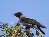 Hooded Crow, juv.