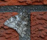 Blåbandat ordensfly, hona, (Catocala fraxini)