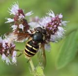 Flies and hoverflies in Sweden