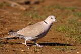 Ring neck Dove