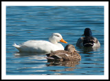 Lazy Day, white duck,  male and female northern Shovler