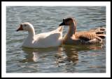 Follow Me, Snow geese