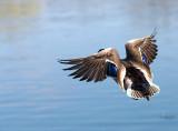 Northern shovler in flight