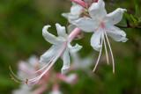 Pink Honey Suckle tree flower