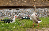 China Goose and Muscovs