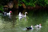 Goose and ducks at Kymulga