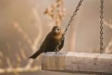 Cowbird , female