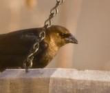 Cowbird, female