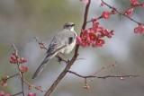 Mocking bird in bush