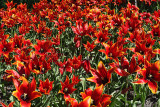 red sea of tulips